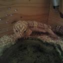 Gecko leopardo albino