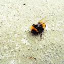 Balkony Bumblebee