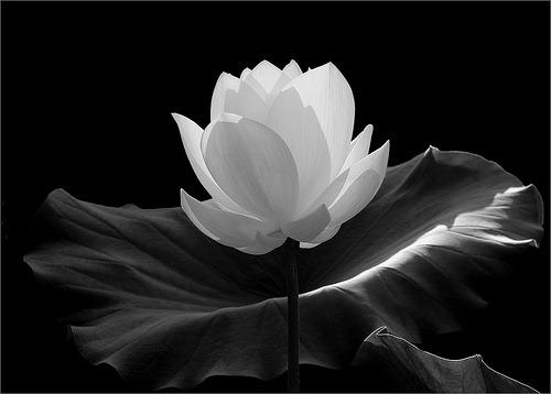 Bw lotus