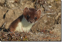 Weasel_face-male_4018