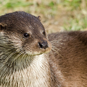 Otter by John Westwood - Animals Other Mammals (  )