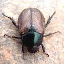 Escarabajo del maní