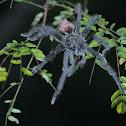 Peruvian Flame Rump Tree Spider