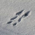 Squirrel Tracks in Snow