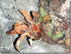 giant_coconut_crab_06