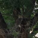 Great Horned Owl, Tiger Owl