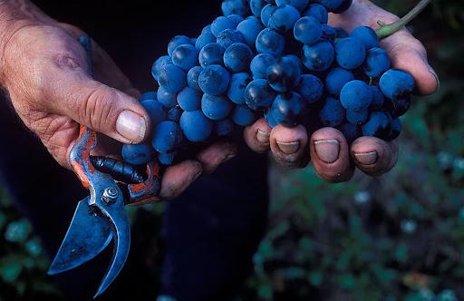 Ramon Mateva, agricultor, verema del celler Pasanau, garnatxa negra, DOQ Priorat La Morera de Montsant, Priorat, Tarragona 2002.10