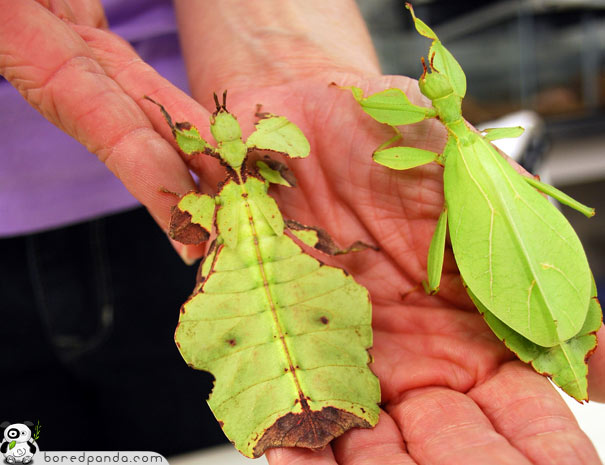 leaf insect camouflage - photo #15