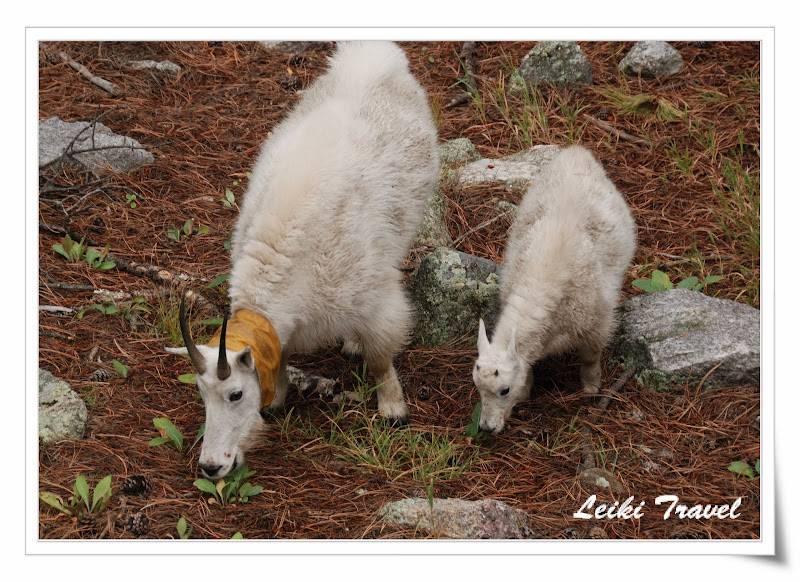 Mount Rushmore 附近出沒的 Mountain Goat