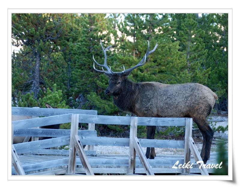 West Thumb 附近出沒的公Elk