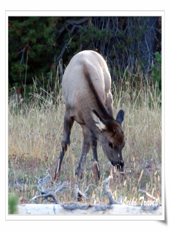 West Thumb 附近出沒的 Elk