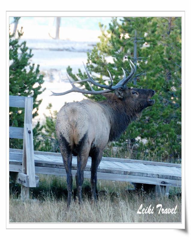 West Thumb 附近出沒的公Elk  (雄馬鹿)