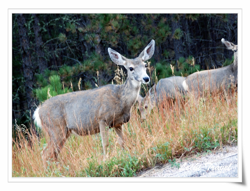 Mule Deer母長耳鹿