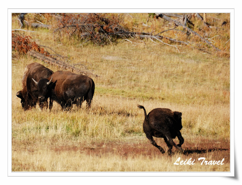 黃石公園狂奔的小野牛