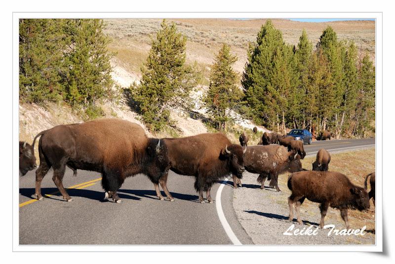 黃石公園野牛! Bison!