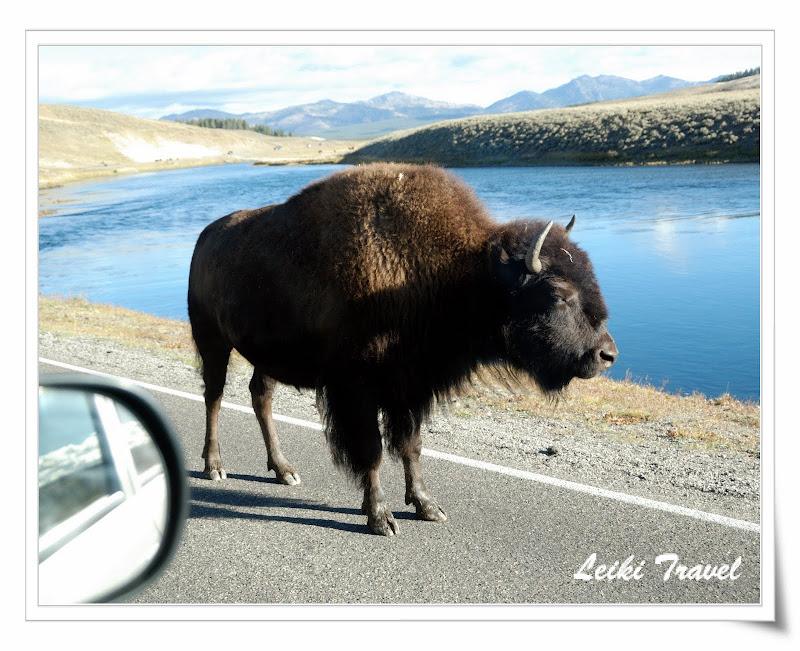 黃石公園野牛近距離擦身而過