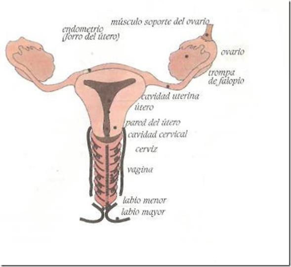 organos femeninos