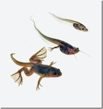 metamorfosis rana