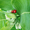 Multicolored Asian Lady Beetle (Mating)
