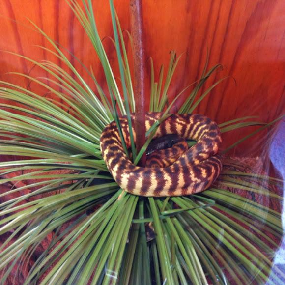 Womera(black headed python)   Project Noah