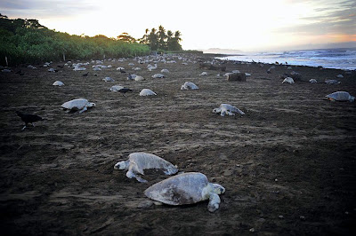 Sea Turtles Laying Eggs