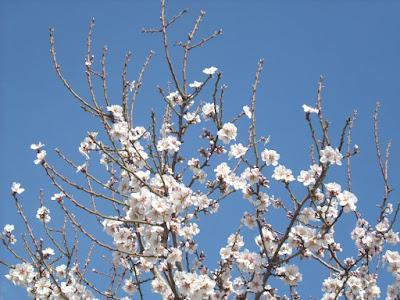 Flores De Almendro Alicante Forestal