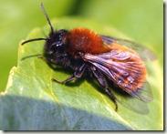 Andrena_fulva01