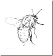carder bee sketch3