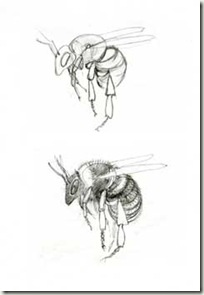 bee sketches final hortorus sm