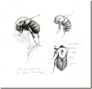 bombus impatiens sketches