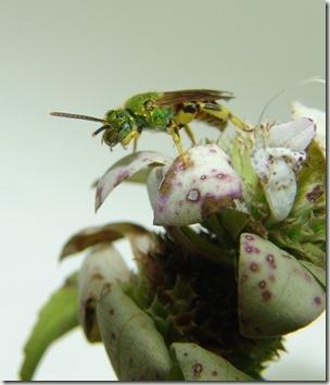 bee preening