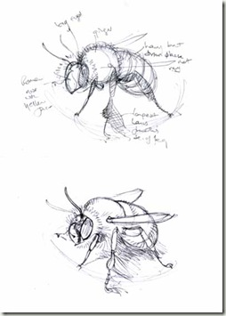 anthophora sketches2