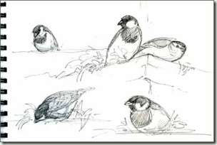sparrow sketches sm jpg