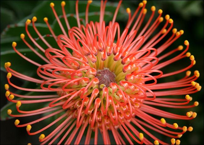 leucospermum_cordifolium ubc botanical garden