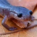 Zigzag Salamander - Lead phase