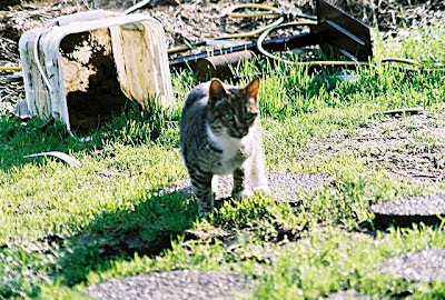 Feral tabby cat, Ms Thing, sweet kitty, died 2009