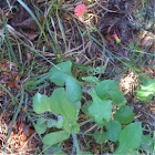 Tasselflower,Cupid's Shavingbrush,Emilia fosbergii