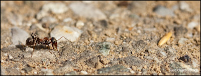 photo fourmi rouge