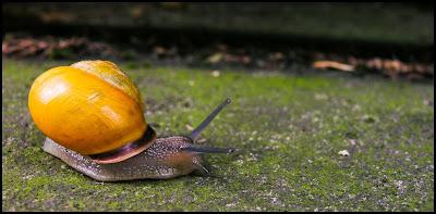 Escargot - Gastéropode