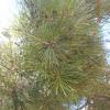 Pine?