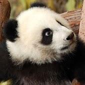 Panda Bear Puzzles
