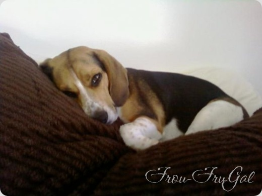 Brutus napping on a pillow