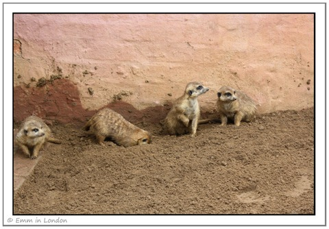 Meerkats at Emerald Resort Animal World