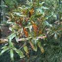 Willow lead oak
