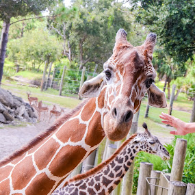 Giraffes at the Zoo by Emily Stillings - Animals Other Mammals ( reach, e.j.stillings photography, brevard, zoo, touch, giraffe, florida, emily stillings,  )