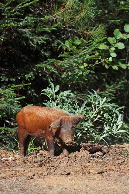 un sanglier rencontre un cochon