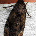 Greater Death's Head Hawkmoth