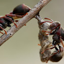 Stick-nest Brown Paper Wasp