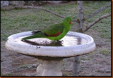 Parrot-in-a-bird-bath