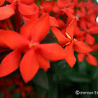 Ixora (unknown)